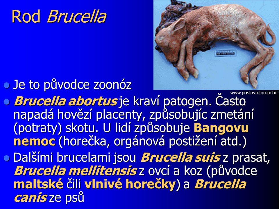 Rod Brucella Je to původce zoonóz Je to původce zoonóz Brucella abortus je kraví patogen. Často napadá hovězí placenty, způsobujíc zmetání (potraty) s