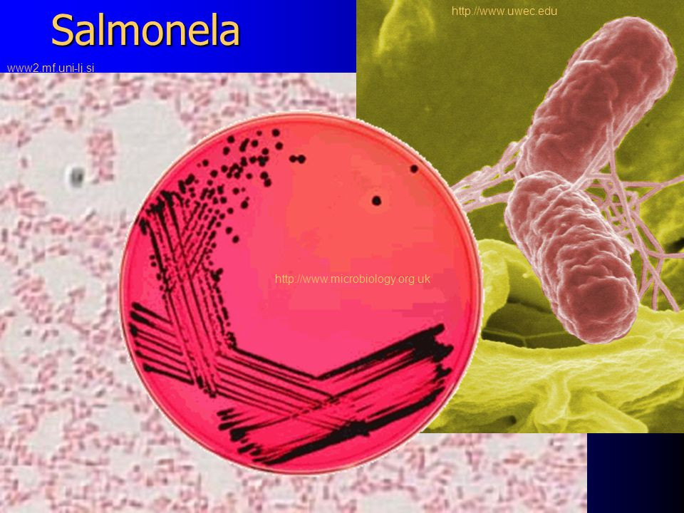 Salmonela http://www.microbiology.org.uk http://www.uwec.edu www2.mf.uni-lj.si