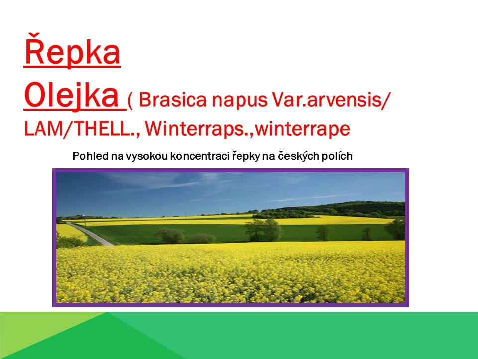 Řepka Olejka ( Brasica napus Var.arvensis/ LAM/THELL., Winterraps.,winterrape Pohled na vysokou koncentraci řepky na českých polích
