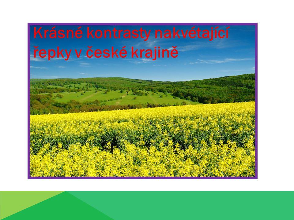 Krásné kontrasty nakvétající řepky v české krajině