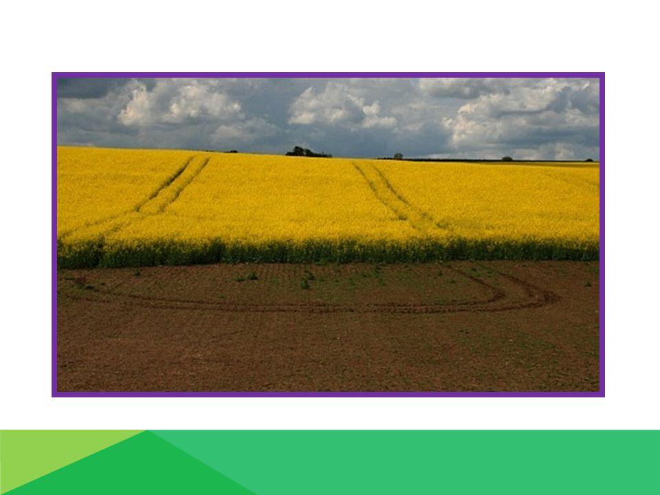 Výživa a hnojení :  nejnáročnější plodina z hlediska potřeby živin !!!!!!!!!!!!!!.