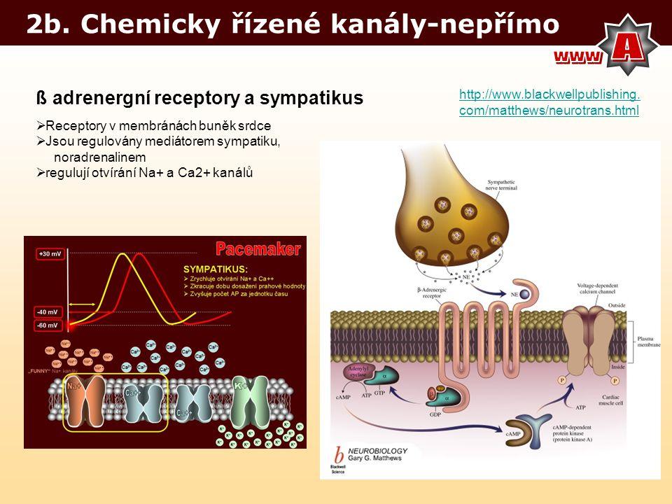 2b. Chemicky řízené kanály-nepřímo http://www.blackwellpublishing. com/matthews/neurotrans.html ß adrenergní receptory a sympatikus  Receptory v memb