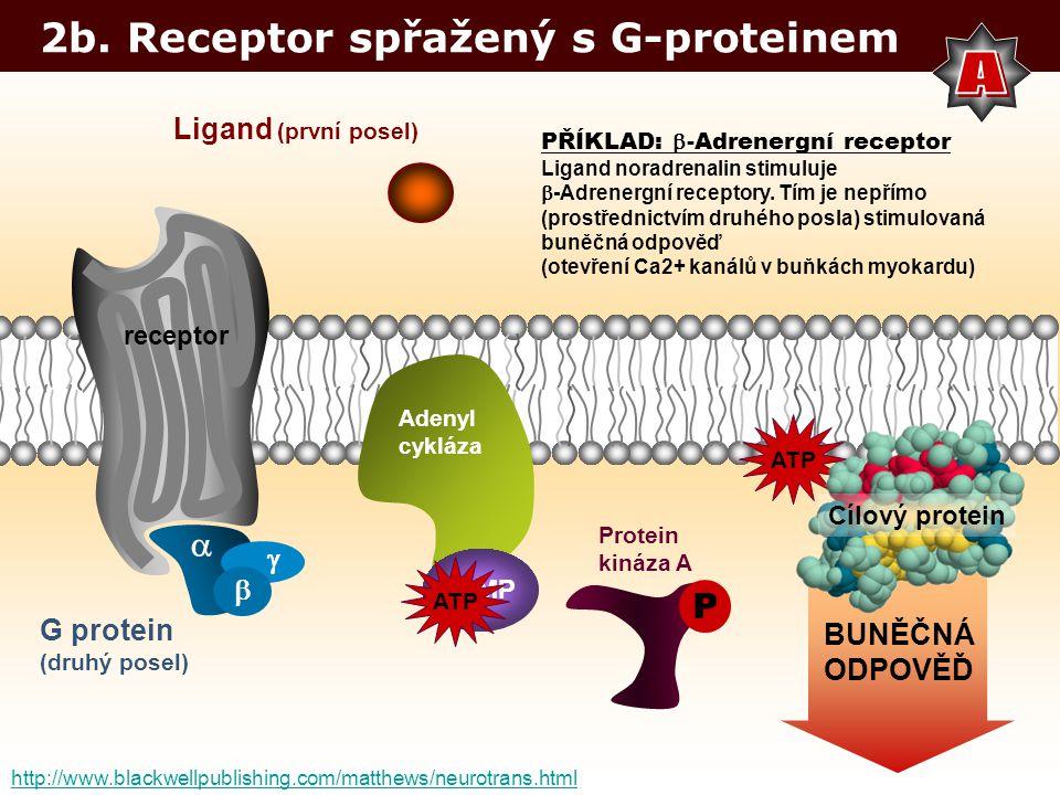 2b. Receptor spřažený s G-proteinem Ligand (první posel) G protein (druhý posel) PŘÍKLAD:  -Adrenergní receptor Ligand noradrenalin stimuluje  -Adre