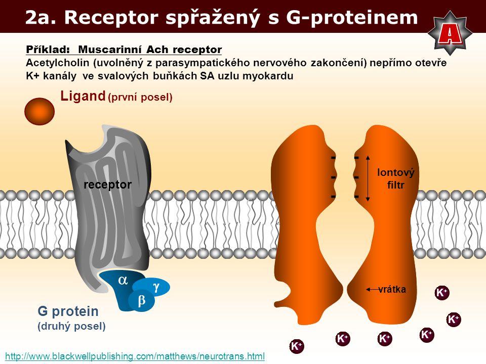 2a. Receptor spřažený s G-proteinem K+K+ Iontový filtr ------ vrátka ------ Ligand (první posel) G protein (druhý posel) K+K+ K+K+ K+K+ K+K+ K+K+ rece