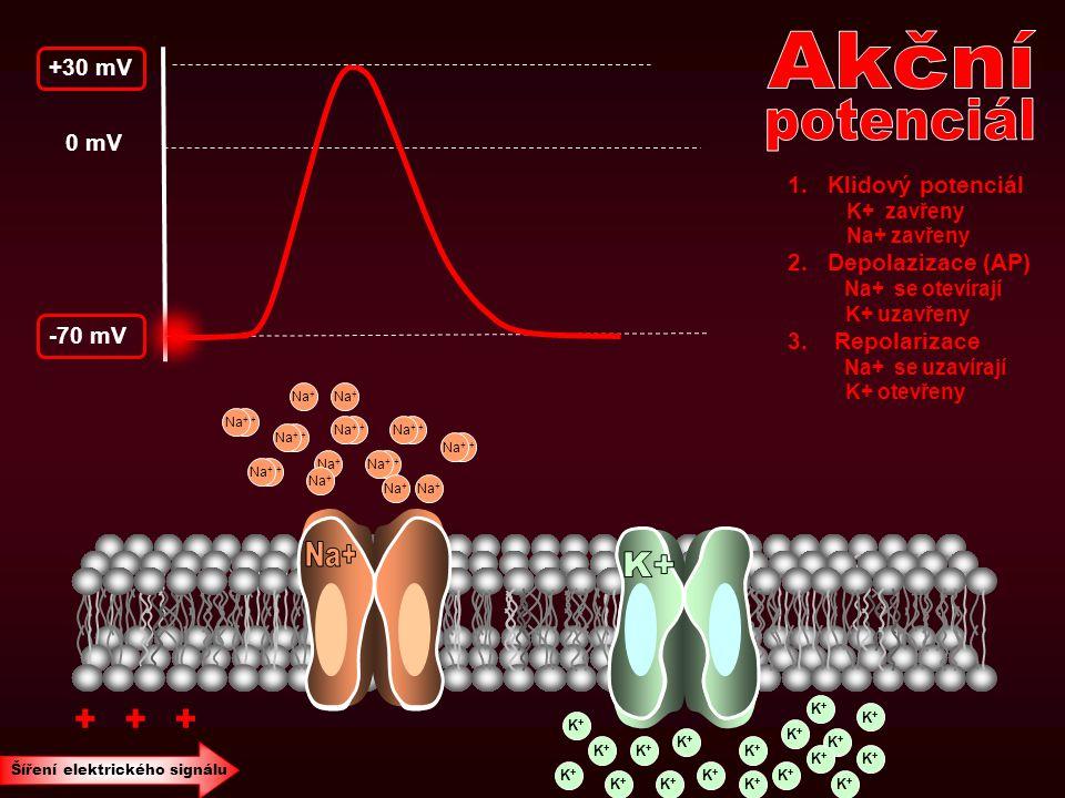 -70 mV 0 mV +30 mV 1.Klidový potenciál K+ zavřeny Na+ zavřeny 2.Depolazizace (AP) Na+ se otevírají K+ uzavřeny 3. Repolarizace Na+ se uzavírají K+ ote