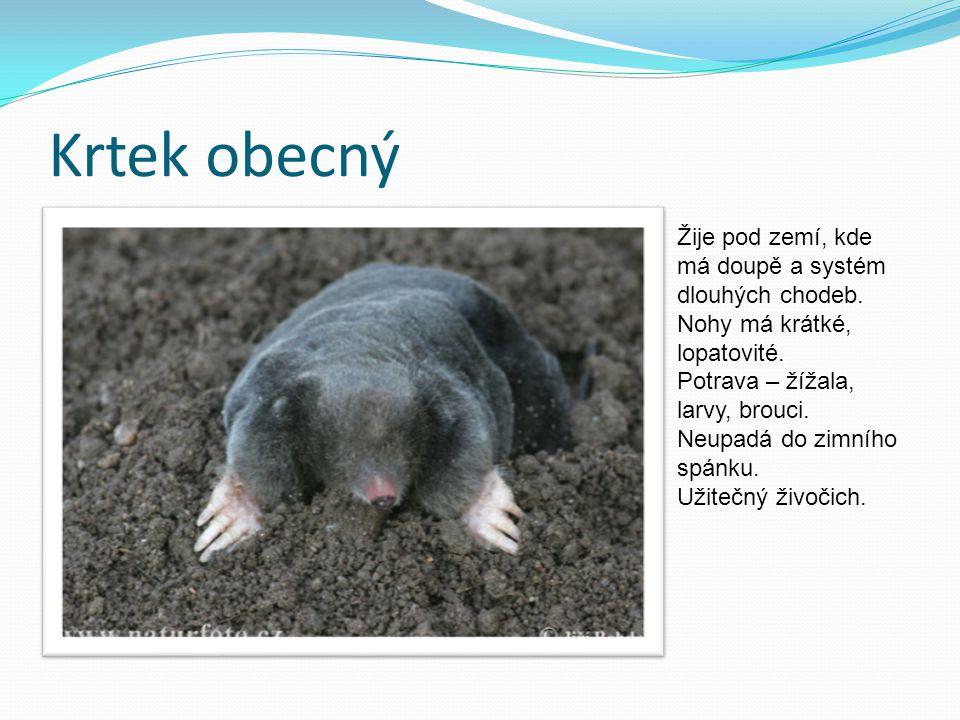 Krtek obecný Žije pod zemí, kde má doupě a systém dlouhých chodeb. Nohy má krátké, lopatovité. Potrava – žížala, larvy, brouci. Neupadá do zimního spá