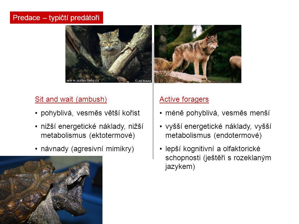 Predace – typičtí predátoři Sit and wait (ambush) pohyblivá, vesměs větší kořist nižší energetické náklady, nižší metabolismus (ektotermové) návnady (