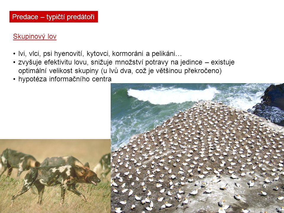 Predace – typičtí predátoři Skupinový lov lvi, vlci, psi hyenovití, kytovci, kormoráni a pelikáni… zvyšuje efektivitu lovu, snižuje množství potravy n