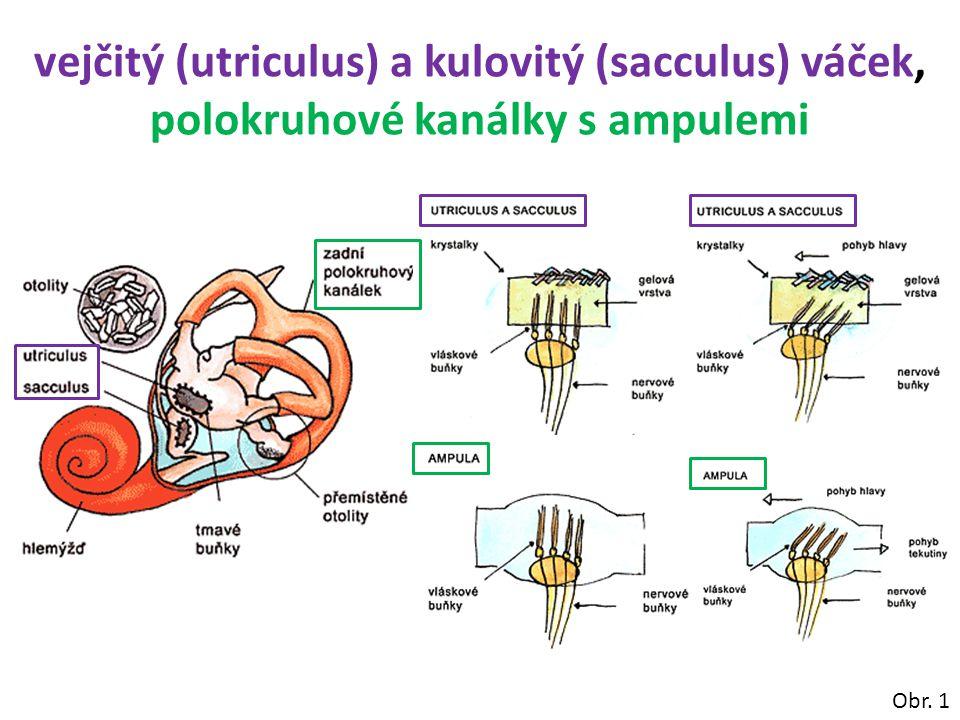 vejčitý (utriculus) a kulovitý (sacculus) váček, polokruhové kanálky s ampulemi Obr. 1