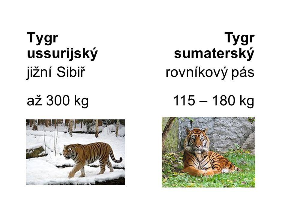 Tygr ussurijský jižní Sibiř až 300 kg Tygr sumaterský rovníkový pás 115 – 180 kg