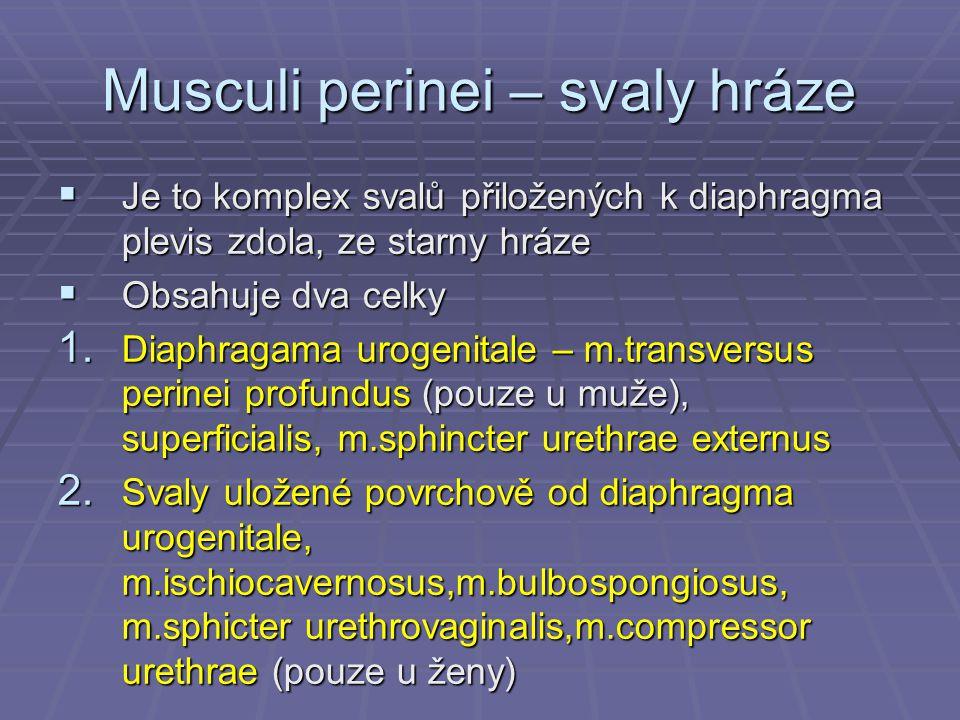 Musculi perinei – svaly hráze  Je to komplex svalů přiložených k diaphragma plevis zdola, ze starny hráze  Obsahuje dva celky 1. Diaphragama urogeni