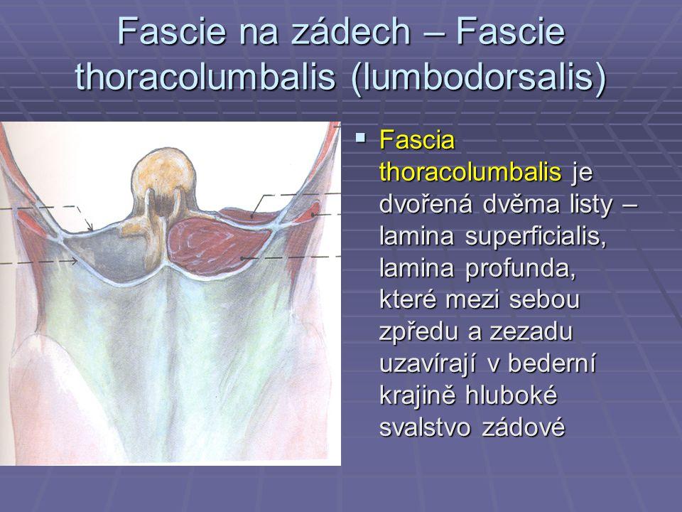 Fascie na zádech – Fascie thoracolumbalis (lumbodorsalis)  Fascia thoracolumbalis je dvořená dvěma listy – lamina superficialis, lamina profunda, kte
