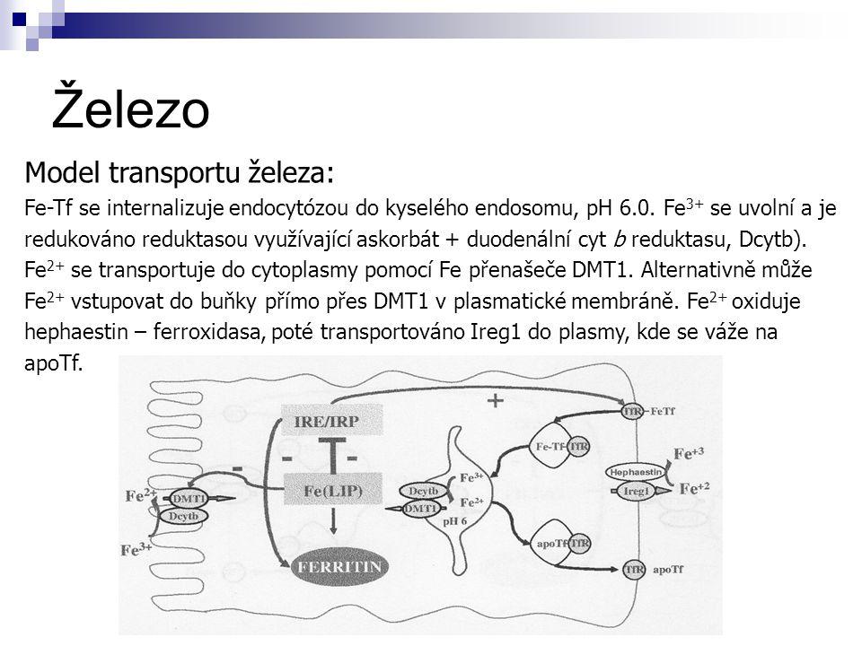 Železo Model transportu železa: Fe-Tf se internalizuje endocytózou do kyselého endosomu, pH 6.0. Fe 3+ se uvolní a je redukováno reduktasou využívajíc
