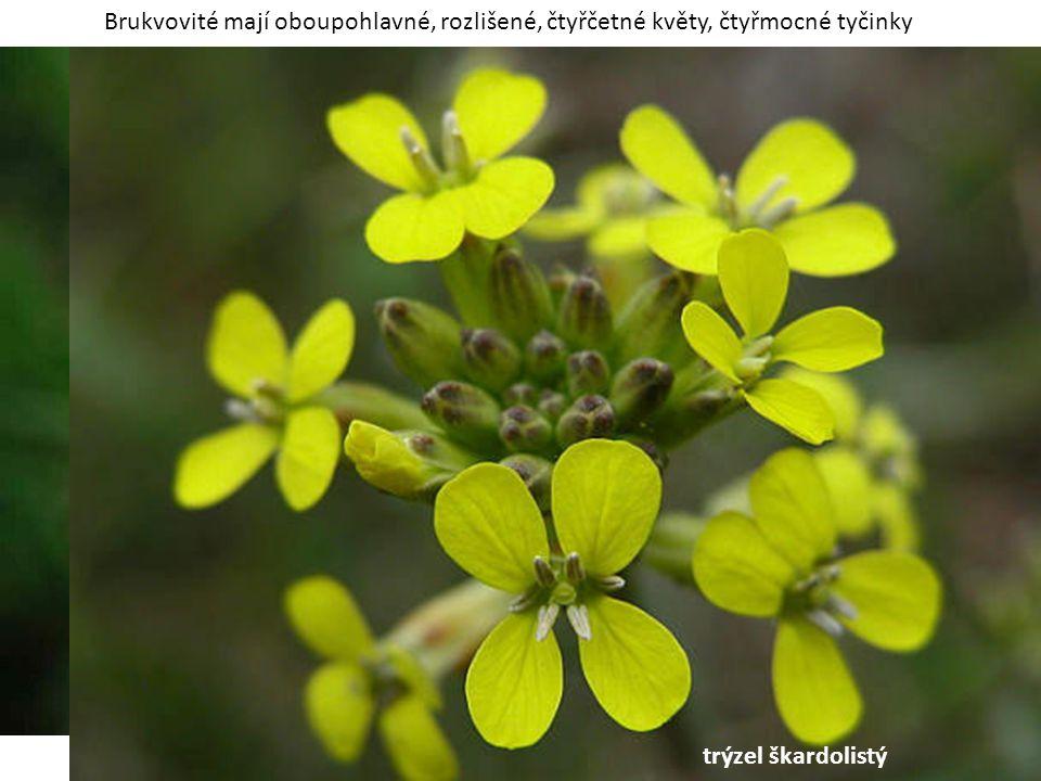 Brukvovité mají oboupohlavné, rozlišené, čtyřčetné květy, čtyřmocné tyčinky trýzel škardolistý