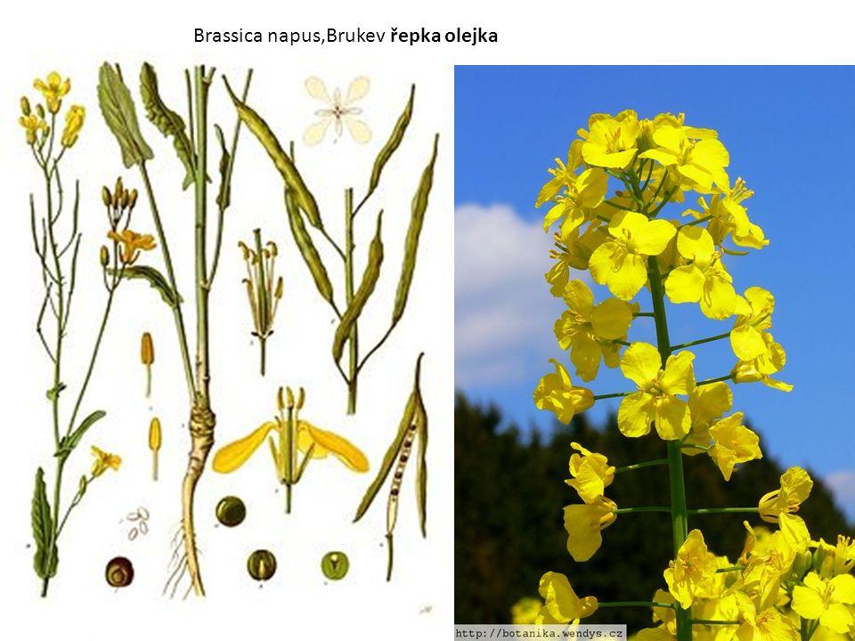 Brassica napus,Brukev řepka olejka