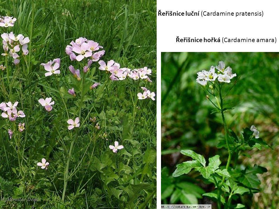 Řeřišnice luční (Cardamine pratensis) Řeřišnice hořká (Cardamine amara)