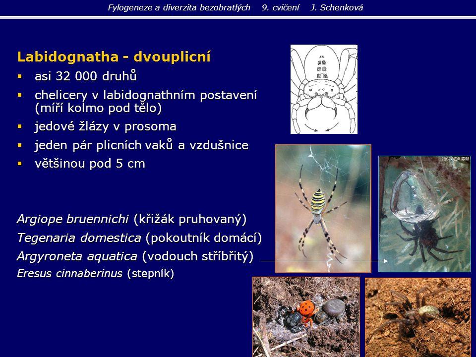 Labidognatha - dvouplicní  asi 32 000 druhů  chelicery v labidognathním postavení (míří kolmo pod tělo)  jedové žlázy v prosoma  jeden pár plicníc