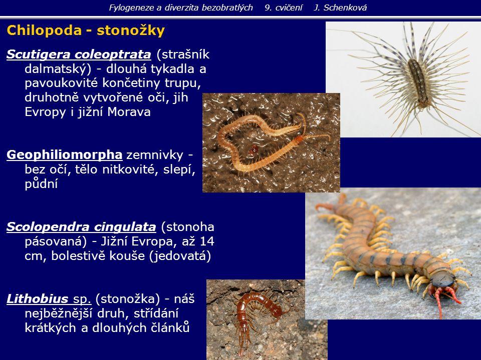 Scutigera coleoptrata (strašník dalmatský) - dlouhá tykadla a pavoukovité končetiny trupu, druhotně vytvořené oči, jih Evropy i jižní Morava Geophilio