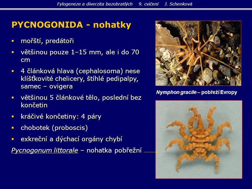 PYCNOGONIDA - nohatky  mořští, predátoři  většinou pouze 1–15 mm, ale i do 70 cm  4 článková hlava (cephalosoma) nese klíšťkovité chelicery, štíhlé