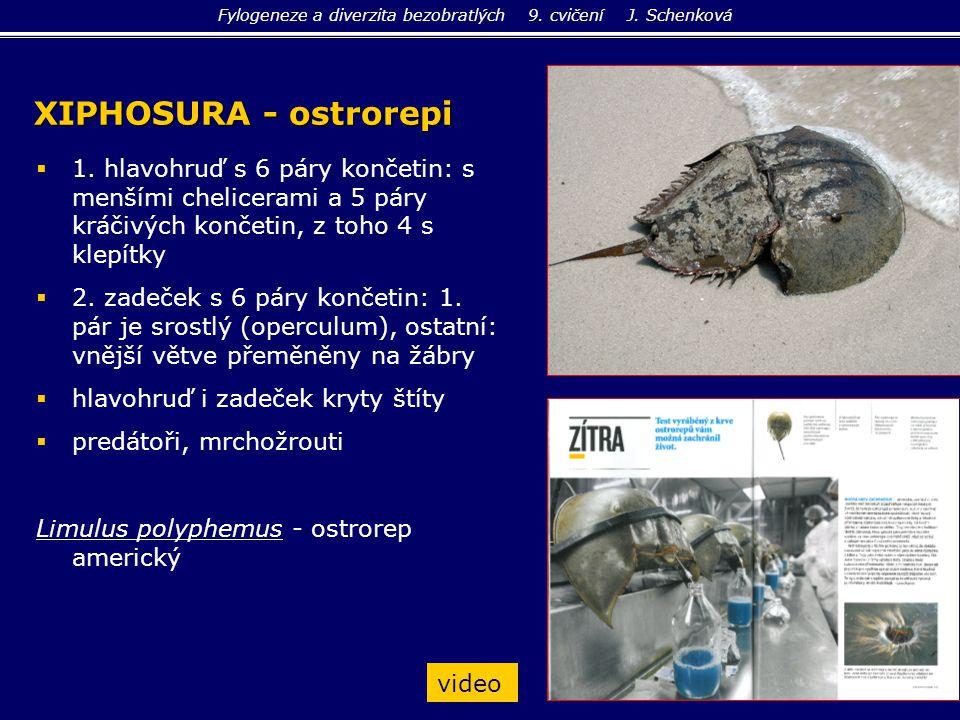 Ixodida - klíšťata  stigmata za 4.