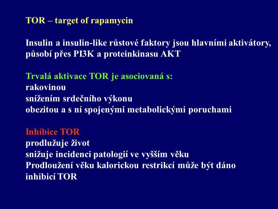 TOR – target of rapamycin Insulin a insulin-like růstové faktory jsou hlavními aktivátory, působí přes PI3K a proteinkinasu AKT Trvalá aktivace TOR je asociovaná s: rakovinou snížením srdečního výkonu obezitou a s ní spojenými metabolickými poruchami Inhibice TOR prodlužuje život snižuje incidenci patologií ve vyšším věku Prodloužení věku kalorickou restrikcí může být dáno inhibicí TOR