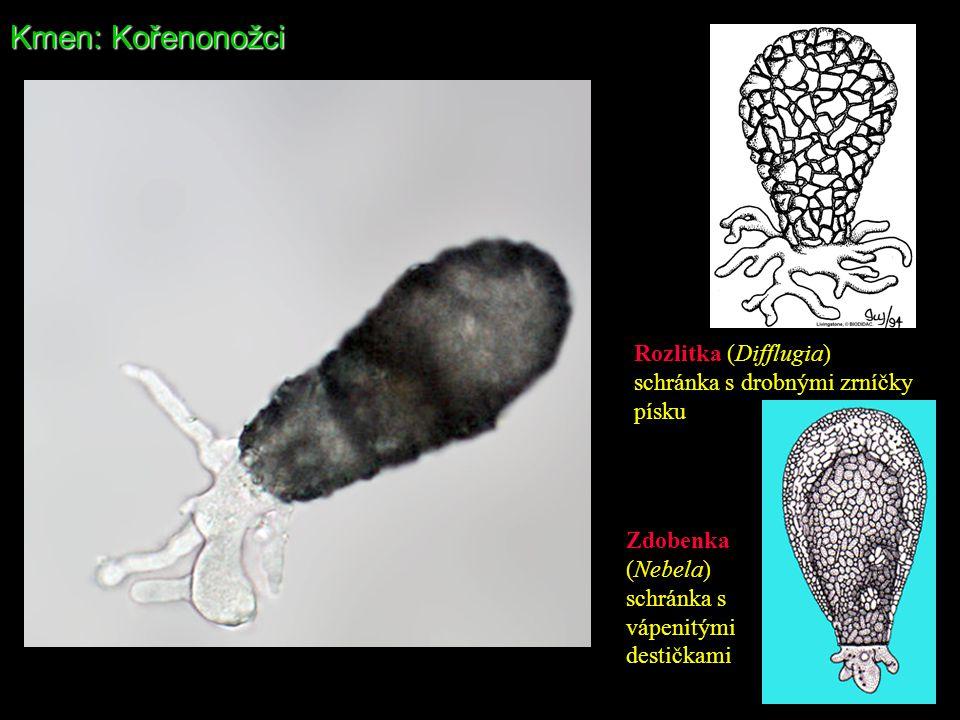 Kmen: Kořenonožci Rozlitka (Difflugia) schránka s drobnými zrníčky písku Zdobenka (Nebela) schránka s vápenitými destičkami