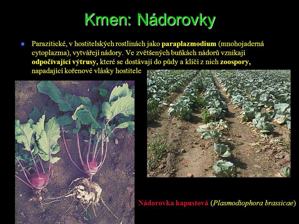 Kmen: Nádorovky Parazitické, v hostitelských rostlinách jako paraplazmodium (mnohojaderná cytoplazma), vytvářejí nádory. Ve zvětšených buňkách nádorů