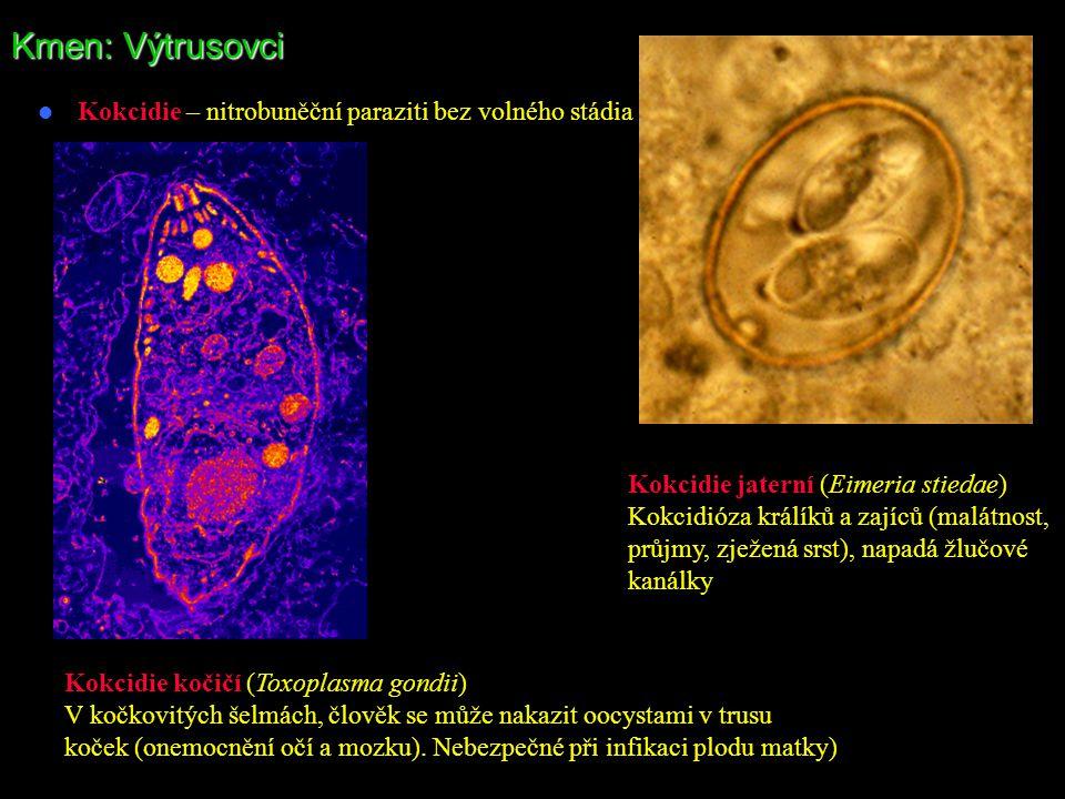 Kmen: Výtrusovci Kokcidie – nitrobuněční paraziti bez volného stádia Kokcidie jaterní (Eimeria stiedae) Kokcidióza králíků a zajíců (malátnost, průjmy