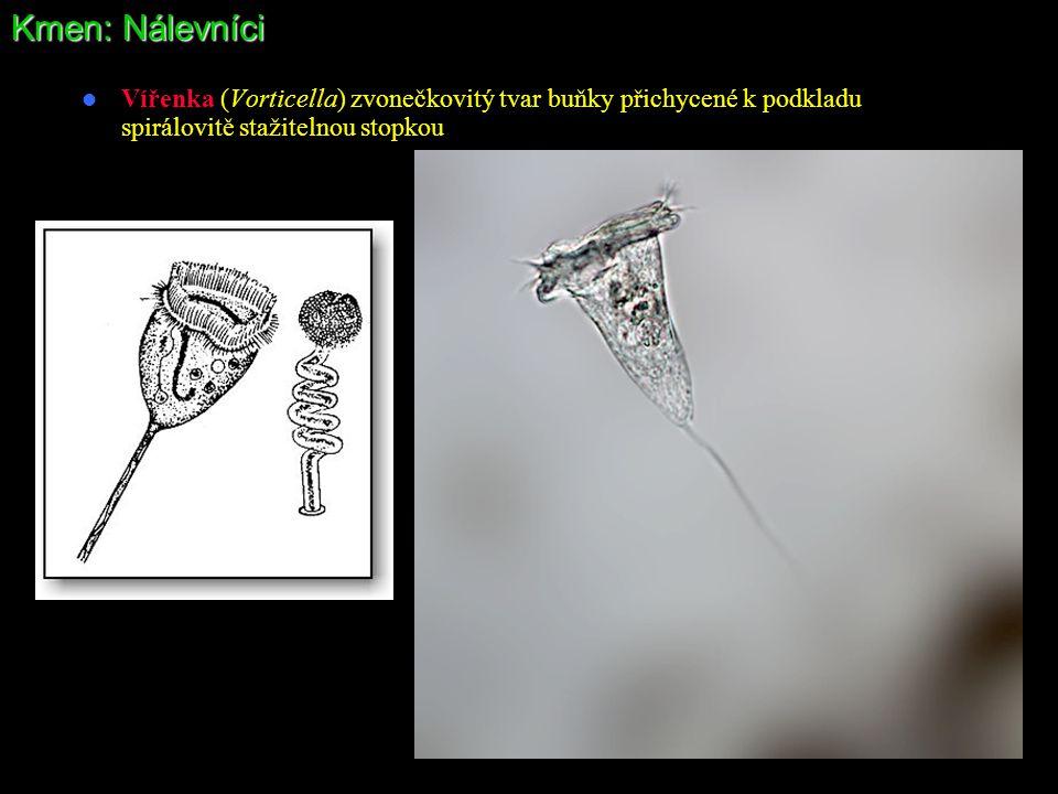 Kmen: Nálevníci Vířenka (Vorticella) zvonečkovitý tvar buňky přichycené k podkladu spirálovitě stažitelnou stopkou