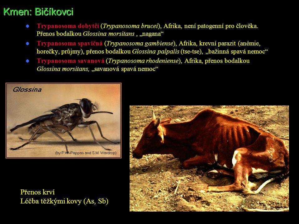 """Kmen: Bičíkovci Trypanosoma dobytčí (Trypanosoma brucei), Afrika, není patogenní pro člověka. Přenos bodalkou Glossina morsitans, """"nagana"""" Trypanosoma"""