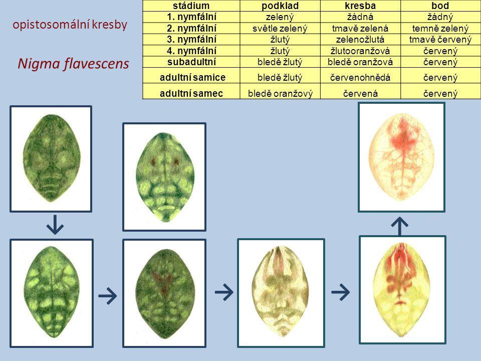 opistosomální kresby Nigma flavescens stádiumpodkladkresbabod 1. nymfálnízelenýžádnážádný 2. nymfálnísvětle zelenýtmavě zelenátemně zelený 3. nymfální