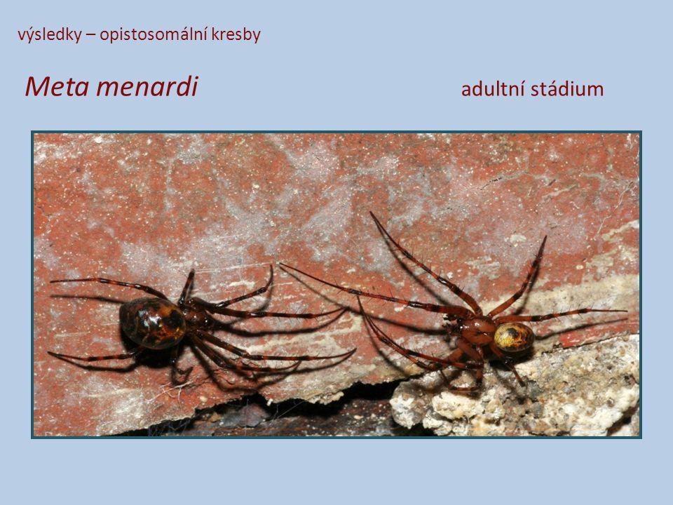 výsledky – opistosomální kresby Meta menardi adultní stádium