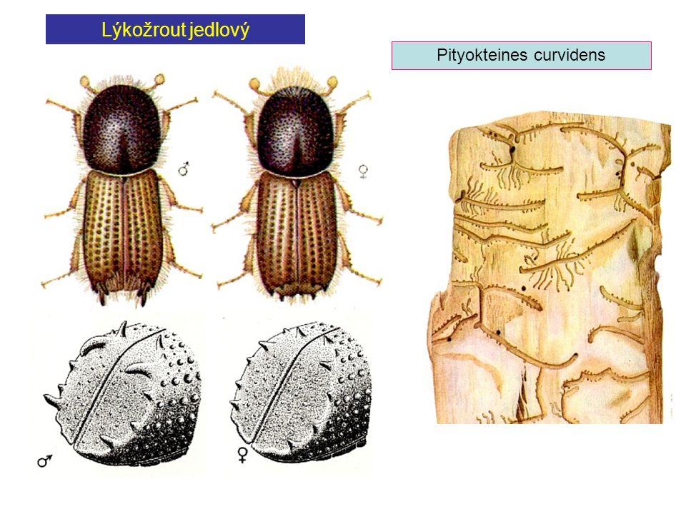 Lýkožrout jedlový Pityokteines curvidens
