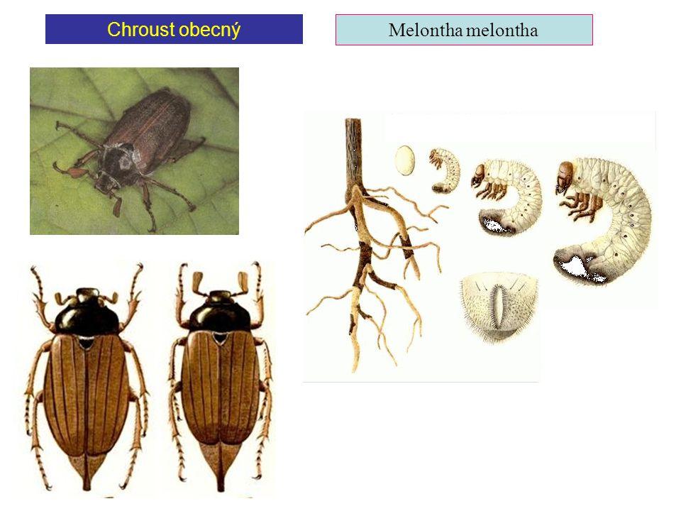 Chroust obecný Melontha melontha