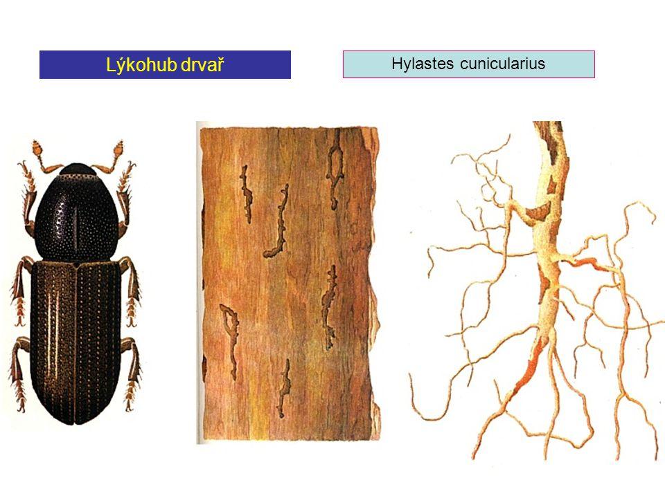 Lýkohub drvař Hylastes cunicularius