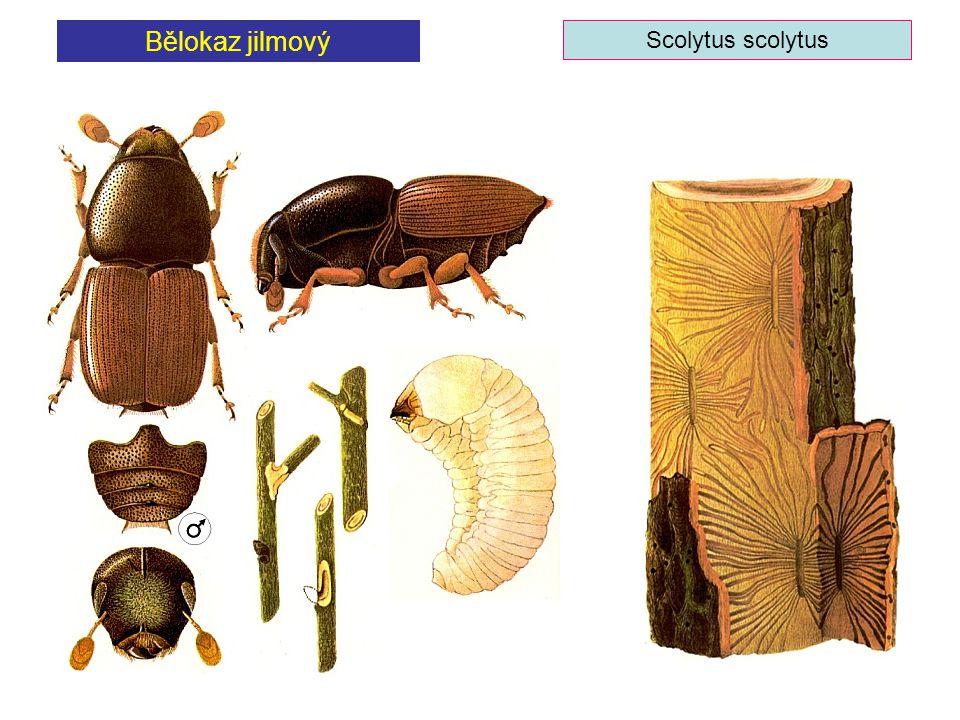 Bělokaz jilmový Scolytus scolytus