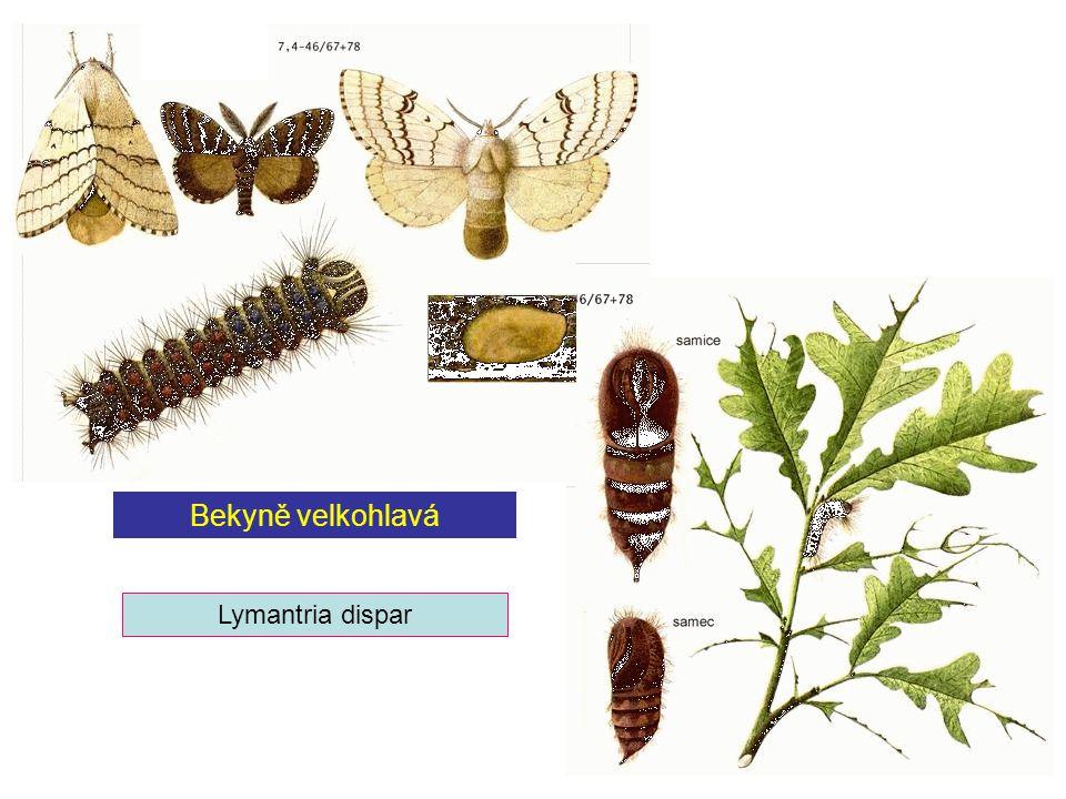 Bekyně velkohlavá Lymantria dispar