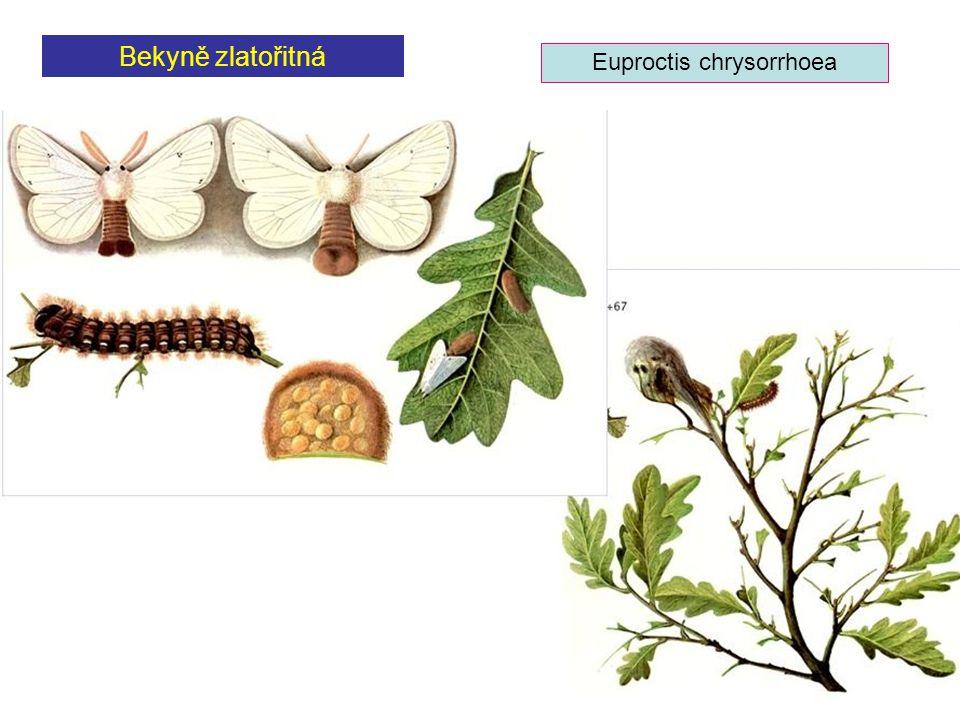 Bekyně zlatořitná Euproctis chrysorrhoea