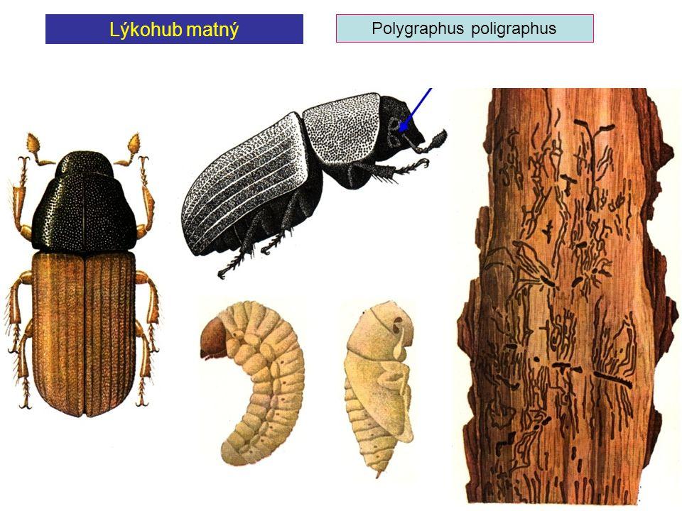 Lýkohub matný Polygraphus poligraphus