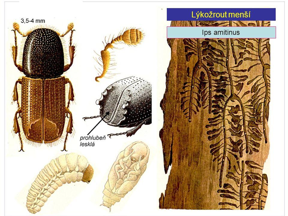 Lýkožrout menší Ips amitinus