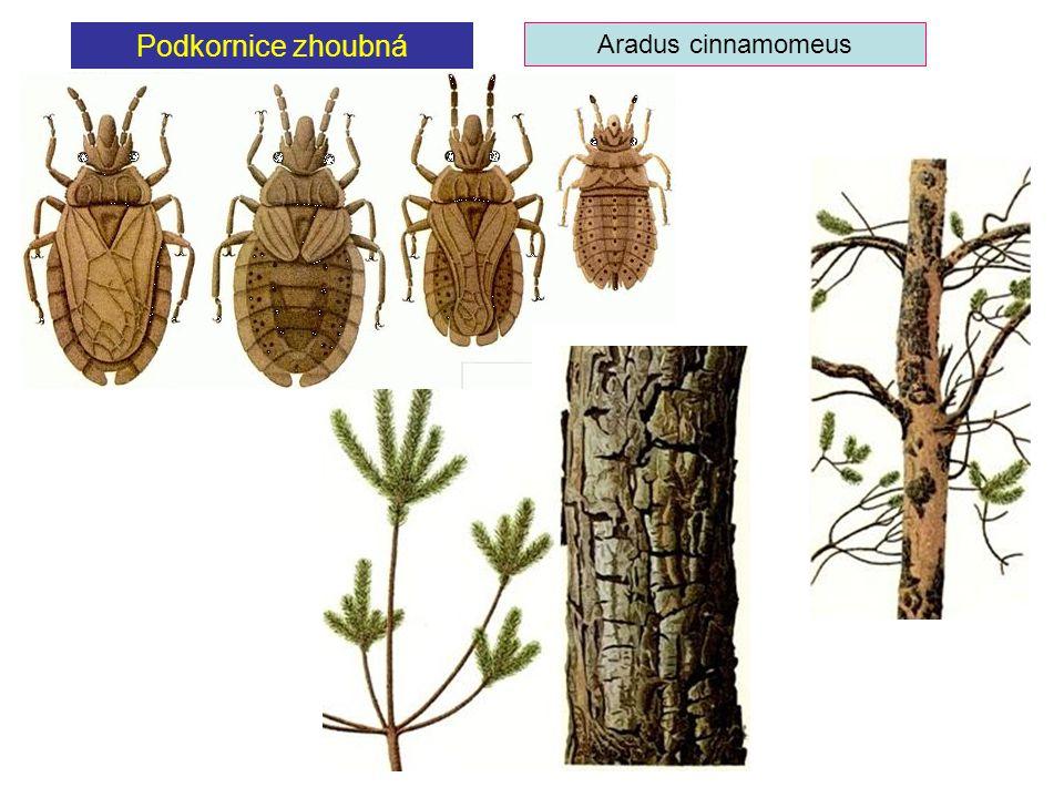 Podkornice zhoubná Aradus cinnamomeus