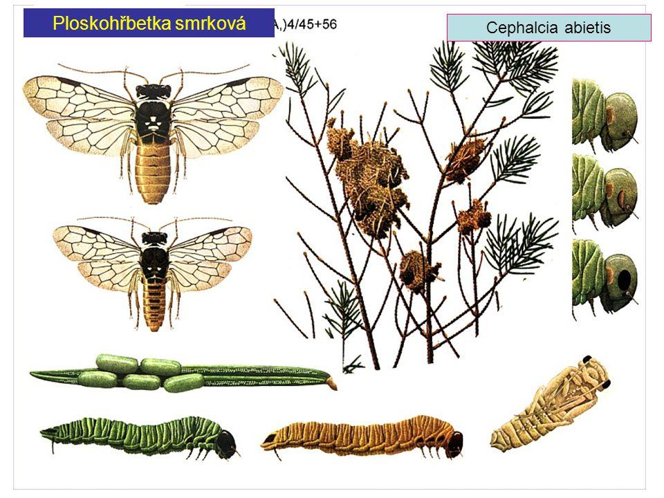 Ploskohřbetka smrková Cephalcia abietis