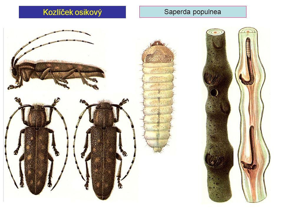 Kozlíček osikový Saperda populnea