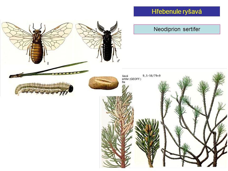 Hřebenule ryšavá Neodiprion sertifer
