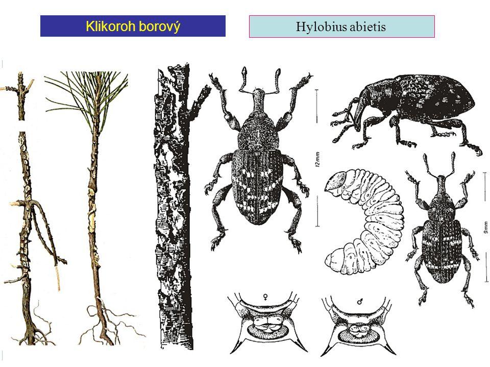 Klikoroh borový Hylobius abietis
