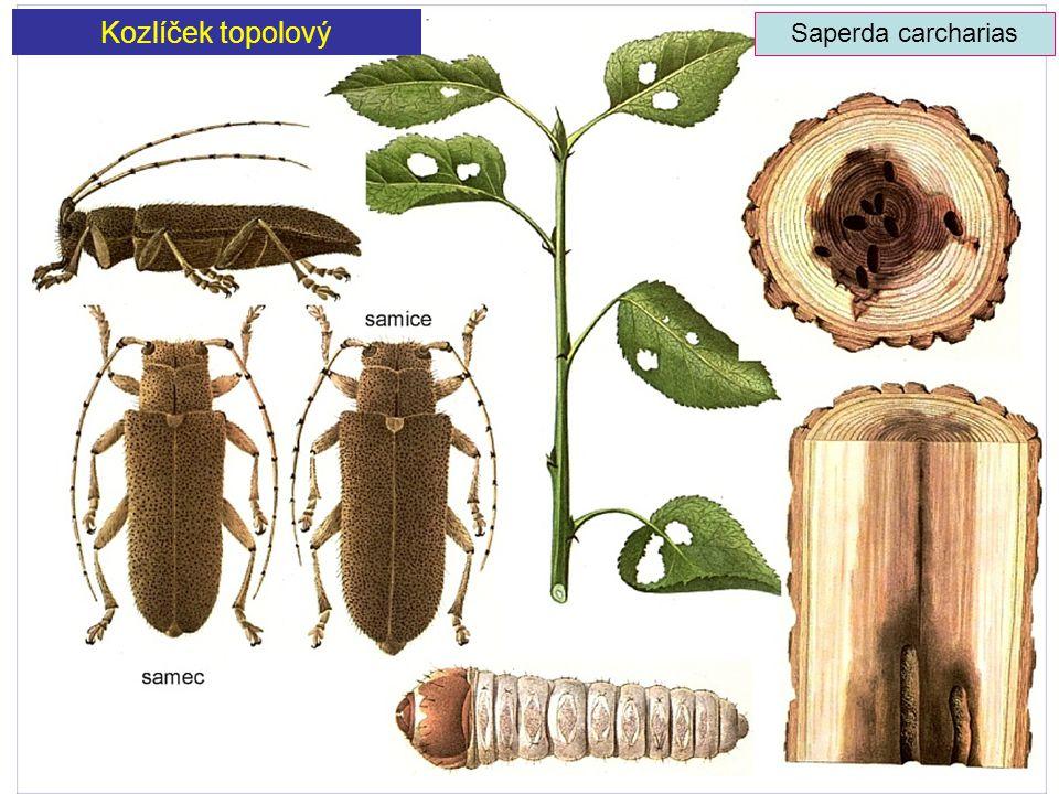Kozlíček topolový Saperda carcharias