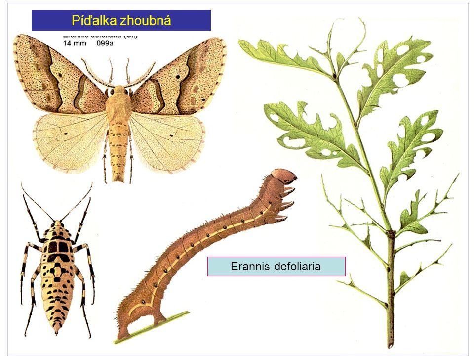 Píďalka zhoubná Erannis defoliaria