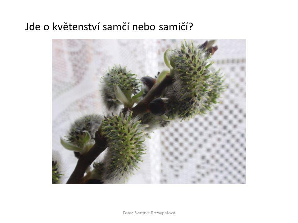 Foto: Svatava Rozsypalová Jde o květenství samčí nebo samičí?