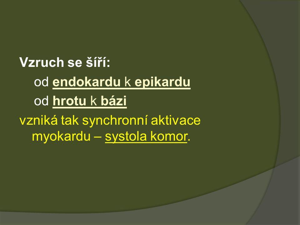 Vzruch se šíří: od endokardu k epikardu od hrotu k bázi vzniká tak synchronní aktivace myokardu – systola komor.