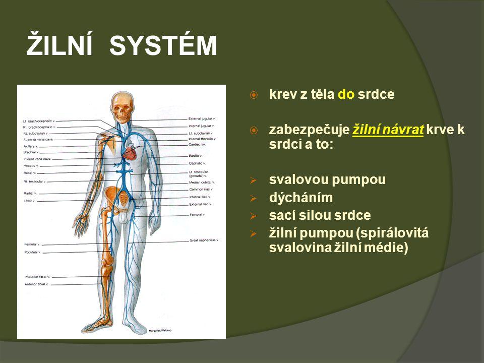 ŽILNÍ SYSTÉM  krev z těla do srdce  zabezpečuje žilní návrat krve k srdci a to:  svalovou pumpou  dýcháním  sací silou srdce  žilní pumpou (spirálovitá svalovina žilní médie)